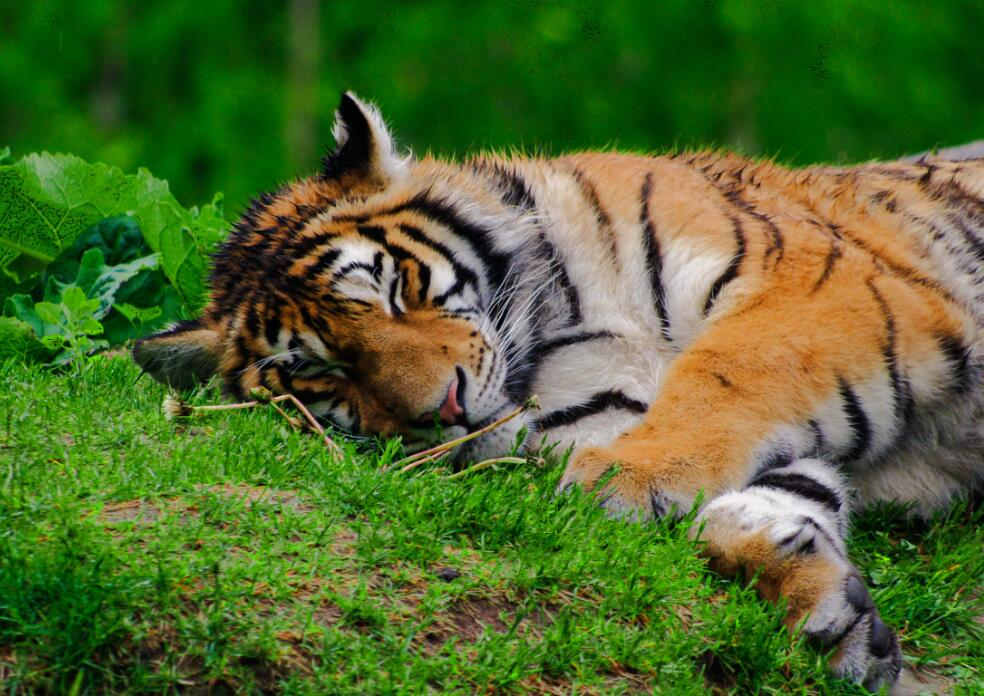 U.S. zoo confirms a tiger tests positive for coronavirus-cnTechPost
